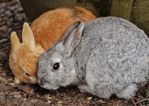 when_rabbits_estrus