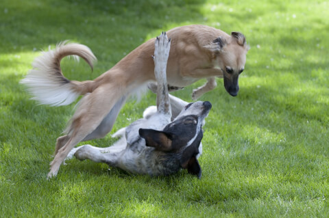 playwhippet