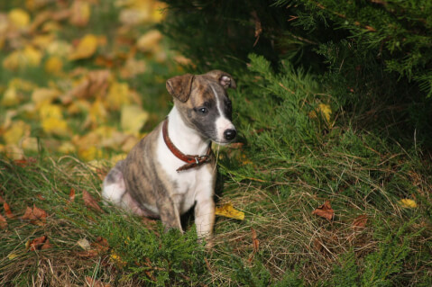 puppywhippet