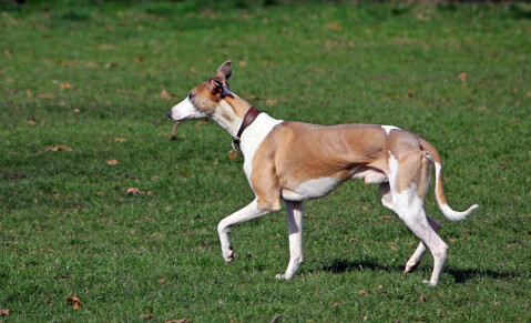 redwhitewhippet