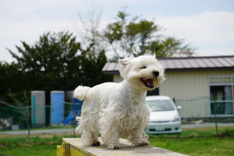 west-highland-white-terrier_3