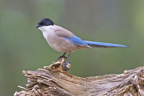 オナガ 日本 野鳥 種類 鳴き声 青 一覧