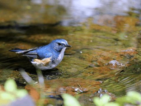 ルリビタキ 日本 野鳥 種類 鳴き声 青 一覧
