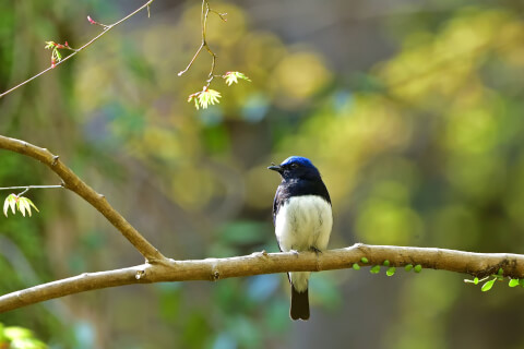 オオルリ 日本 野鳥 種類 鳴き声 青 一覧