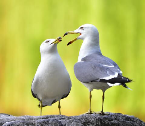 ウミネコ 日本 野鳥 種類 鳴き声 青 一覧