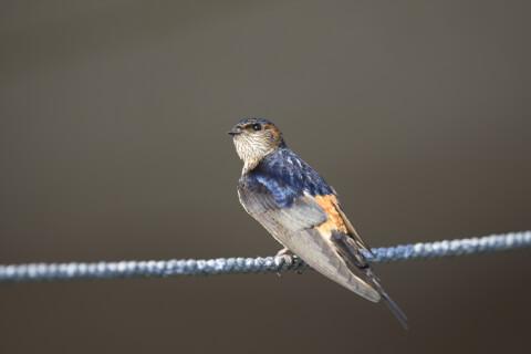 コシアカツバメ 日本 野鳥 種類 鳴き声 青 一覧