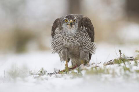 ハイタカ 日本 野鳥 種類 鳴き声 青 一覧