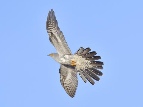 カッコウ 日本 野鳥 種類 鳴き声 青 一覧