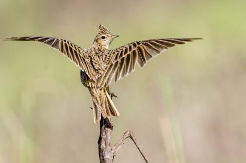 ヒバリ日本 野鳥 種類 鳴き声 青 一覧