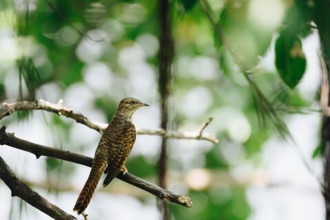 ホトトギス 日本 野鳥 種類 鳴き声 青 一覧