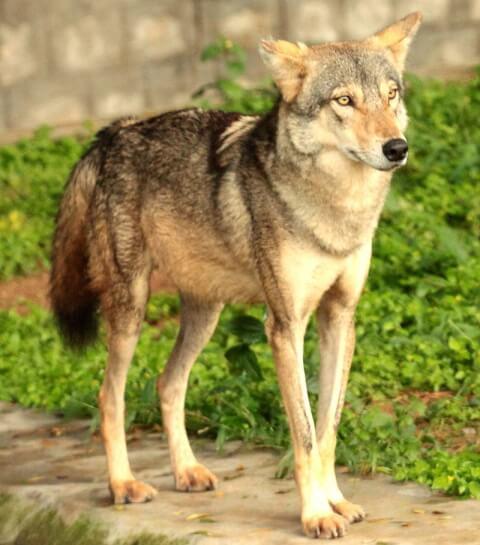 インドオオカミ