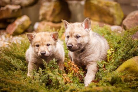 ウルフドッグ 日本 輸入 大きさ 値段 ブリーダー 子犬