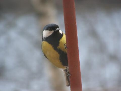 ヤマガラ 日本 野鳥 種類 鳴き声 青 一覧