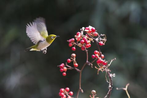 メジロ 日本 野鳥 種類 鳴き声 青 一覧