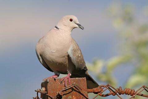 キジバト 日本 野鳥 種類 鳴き声 青 一覧