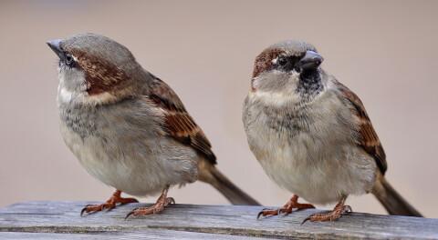 スズメ 日本 野鳥 種類 鳴き声 青 一覧