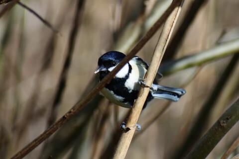 シジュウカラ 日本 野鳥 種類 鳴き声 青 一覧