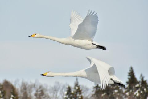 日本 野鳥 種類 鳴き声 青 一覧