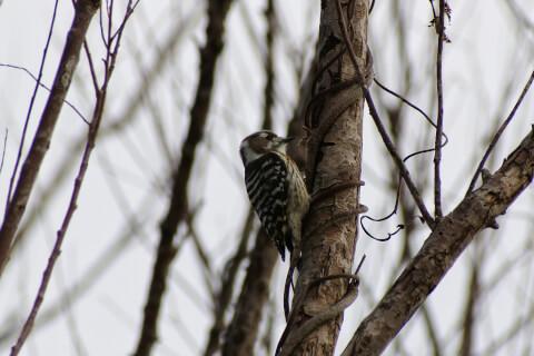 コゲラ 日本 野鳥 種類 鳴き声 青 一覧