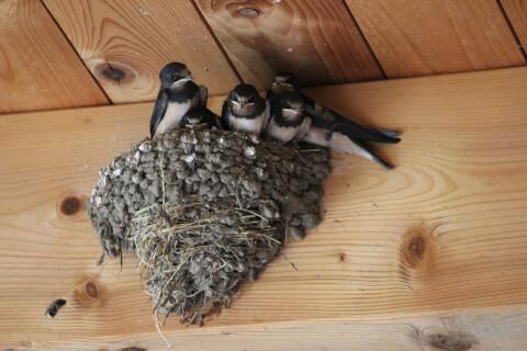 ツバメ 日本 野鳥 種類 鳴き声 青 一覧
