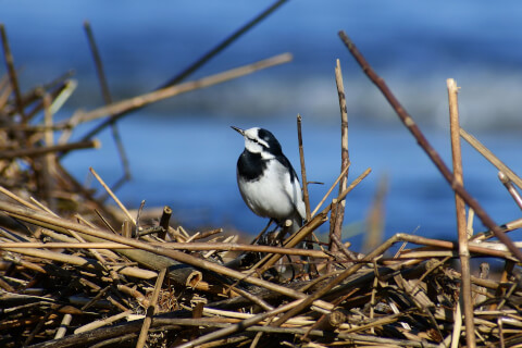 ハクセキレイ 日本 野鳥 種類 鳴き声 青 一覧
