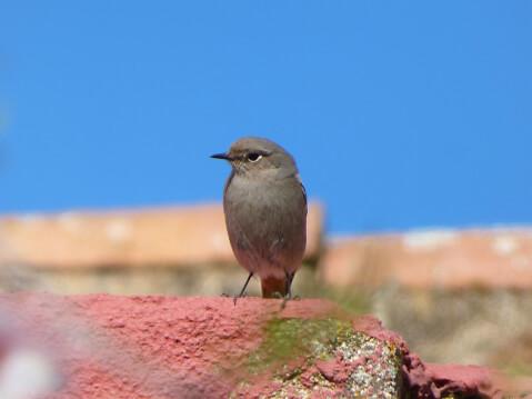 ジョウビタキ 日本 野鳥 種類 鳴き声 青 一覧