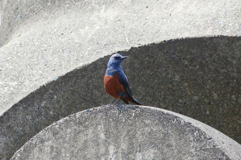 イソヒヨドリ 日本 野鳥 種類 鳴き声 青 一覧