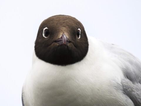 ゆりかもめ 日本 野鳥 種類 鳴き声 青 一覧