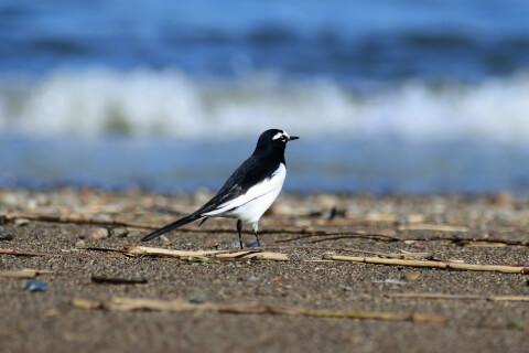 セグロセキレイ 日本 野鳥 種類 鳴き声 青 一覧