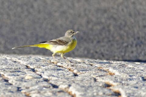 キセキレイ 日本 野鳥 種類 鳴き声 青 一覧