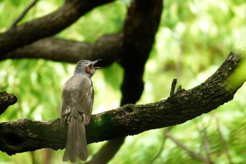ヒヨドリ 日本 野鳥 種類 鳴き声 青 一覧