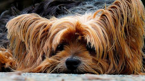 yorkshire-terrier_1