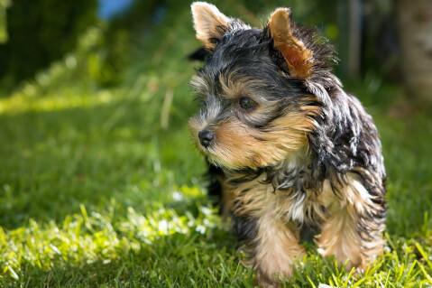 yorkshire-terrier_2