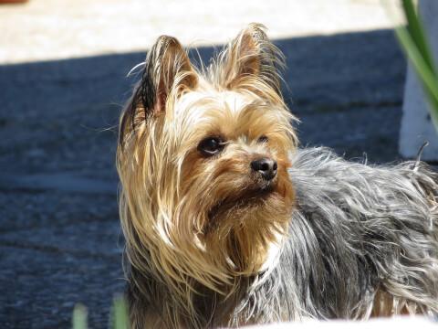 yorkshire-terrier_6