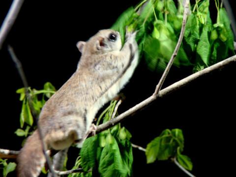 樹の上のモモンガ