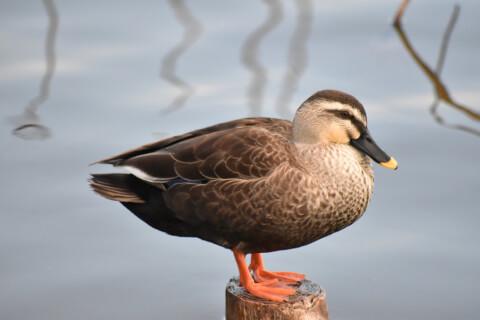 Spotbill duck