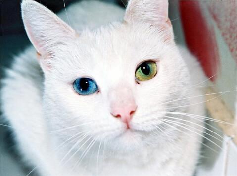 odd-eyes cat