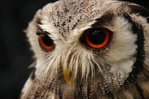 Eurasian Scops-owl