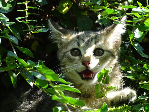 猫のイカ耳