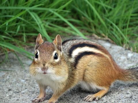 リス 一覧 種類 ペット 特徴 なつく 名前 シマリス