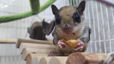 Japanese dwarf flying squirrel