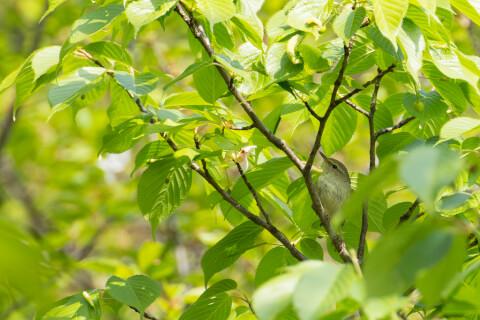 Japanese Nightingale