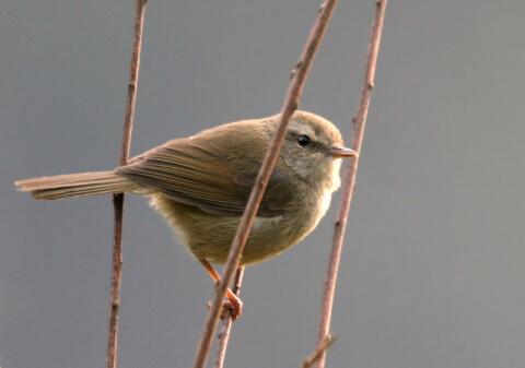 Brownish-flanked Bush-warbler
