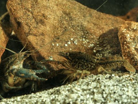 ザリガニ 種類 飼育 繁殖