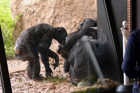 チンパンジーのとっておきタイム