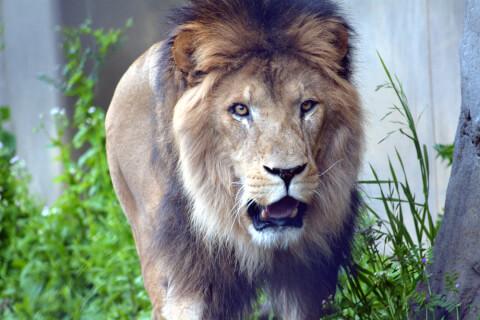 ライオン正面アップ