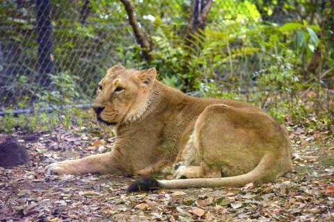 インドライオンメス