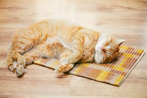 Red Tabby Cat Male Kitten Sleeping In His Bed On Laminate Floor