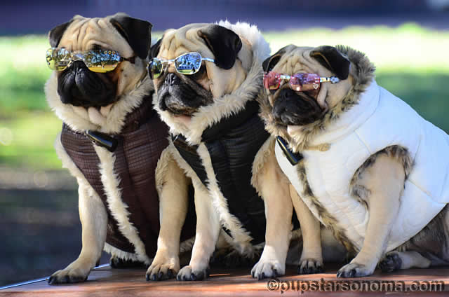 doggles-sunglasses-pug