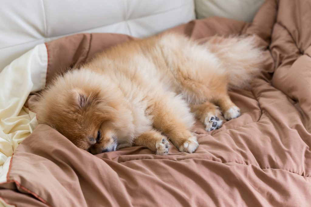 cute pet in house, pomeranian dog sleeping on the bed at home